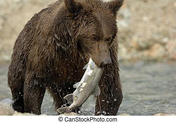 Grizzlybären fangen Lachs.