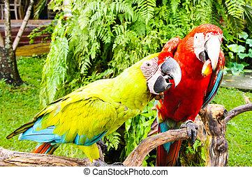 groß, hell, tropische , zweig, papageien, sitzen
