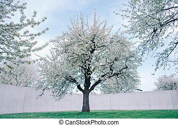 Große Kirschbäume auf einem frischen grünen Rasen.