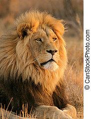 Großer Löwe.