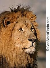 Großer, männlicher Löwe