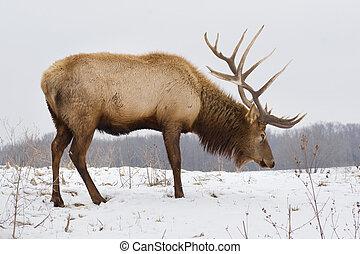 Großer Stier Elch am Schneetag