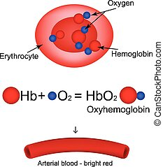 hämoglobin, oxygen., trägt, abbildung, infographics., vektor, oxyhemoglobin.