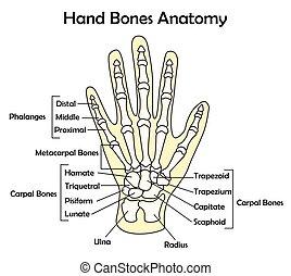 Handknochen-Anatomie mit Detail-Vektorgrafik.