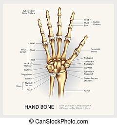 Handknochen mit Details vektorgrafik.
