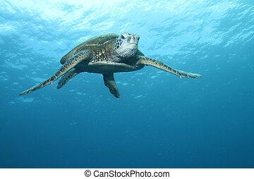 Hawaiianische grüne Meeresschildkröte