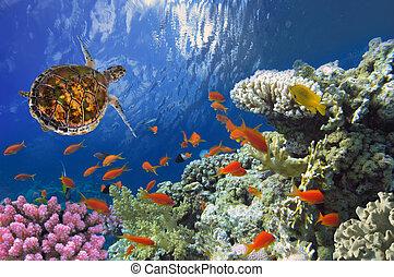 Hawksbill Seeschildkröten auf Korallenriffe im Roten Meer.
