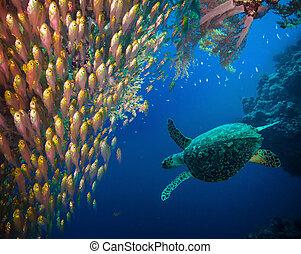 Hawksbill Seeschildkröten (Eretmochelys imbricata)