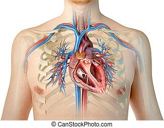 herz, cage., querschnitt, baum, schnitt, lungen, menschliche , bronchial, rippe, gefäße