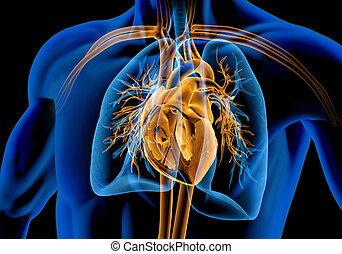 herz, cage., querschnitt, baum, schnitt, lungen, menschliche , bronchial, x-ray., rippe, gefäße