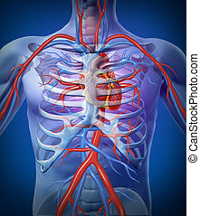 herz, menschliches skelett, zirkulation
