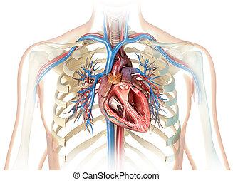herz, querschnitt, gefäße, baum., menschliche , bronchial