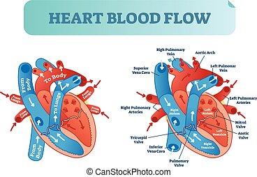 Herzblutkreislauf anatomische Diagramme mit Atrium- und Ventrikelsystem. Vector Illustration beschriftete medizinisches Poster.