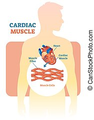 Herzmuskel-Vektor-Diagramm, anatomisches Schema mit menschlichem Herzen.