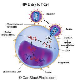 HIV-Eintritt in die T-Zelle