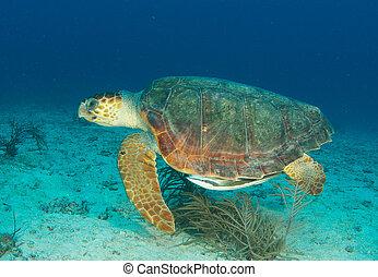 Holzkopfschildkröten schwimmen durchs Wasser.