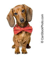 Hundebekleidungsband, Portrait von Dackel mit verbogenen Tieren.
