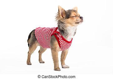 Ich träume Chihuahua