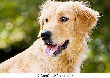 ihr, apportierhund, zunge, goldenes, abstehen
