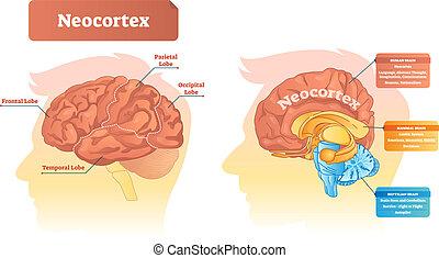 illustration., neocortex, vektor, etikettiert, functions., diagramm, ort