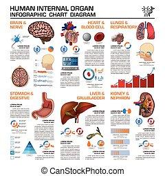 infographic, organ, medizinisches diagramm, diagramm, intern, gesundheit, menschliche