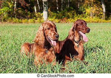 Irische Hunde.