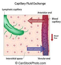 Kapillar-Flüssigkeitsaustausch, Eps 10.