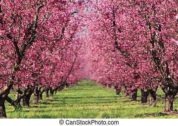 Kirschgarten im Frühling.