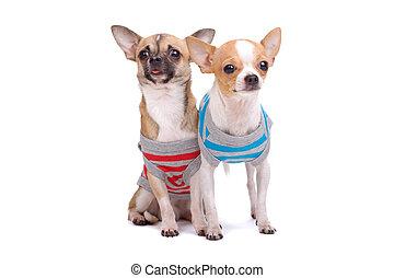 Kleine Chihuahua-Hunde