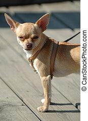 Kleiner Hund, große Ohren