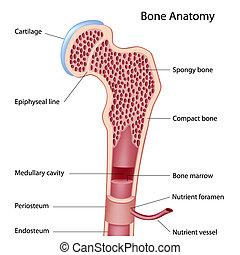 Knochenbau