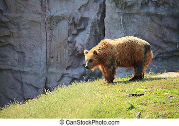 Kodiak Braunbär