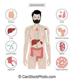 koerper, lymphatisch, menschliche , system
