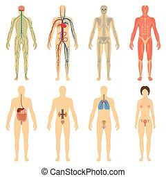 koerper, satz, systeme, menschliche , organe, vitality.