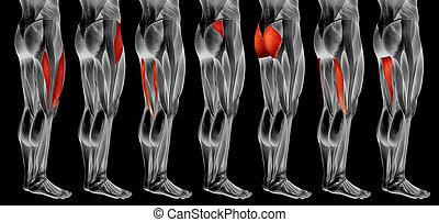 koerperbau, 3d, muskel, oder, satz, sammlung, bein, höher, anatomisch, menschliche