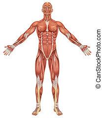 koerperbau, front, mann, muskulös, ansicht