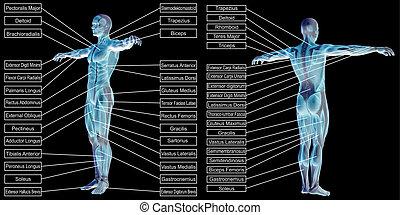 koerperbau, menschliche , hintergrund, muskel, 3d, schwarz, freigestellt, text, mann
