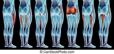 koerperbau, oder, satz, menschliche , 3d, bein, höher, muskel, sammlung, anatomisch