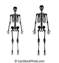 Unterschied frau mann skelett