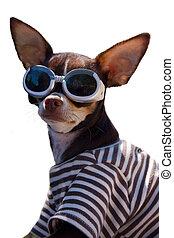 Komischer Chihuahua mit Googles.