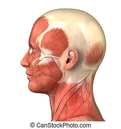 Kopf-Muskel-System-Anatomy rechtsseitig