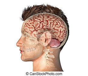 kopf, totenschädel, abschnitt, kreuz, brain., mann