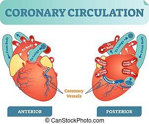 Koronärkreislauf anatomische Querschnittsdiagramm, beschriftete Vektorgrafik. Blut fließt von Körper durch Herz und Lunge und zurück zum Körper.