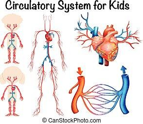 Kreislaufsystem für Kinder.