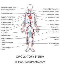 Kreislaufsystem.