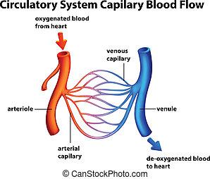 Kreislaufsystem - Kapillarblutfluss.