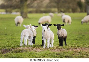 Lämmchen, Schafe auf einem Feld.