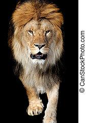 Löwenporträt.