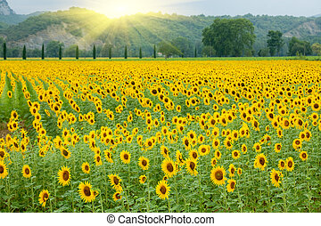 landwirtschaft, sonnenblume