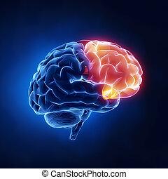 lappen, frontal, -, gehirn, menschliche , röntgenaufnahme, ansicht
